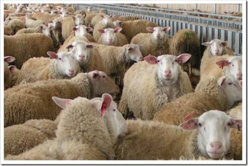 Какие активы должны быть у фермера для успешной деятельности в овцеводстве?