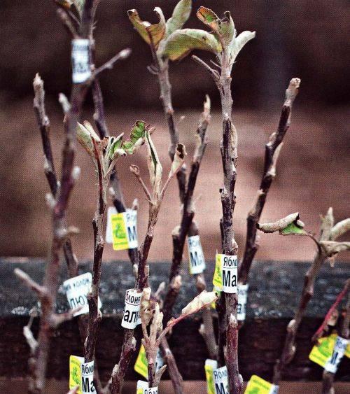 Как выбрать саженцы плодовых деревьев