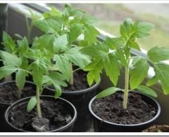 Выращивание рассады томатов в январе