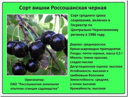 Россошанская черная вишня