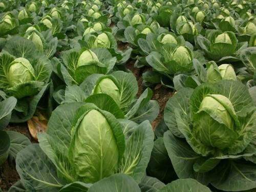Как сажают капусту семенами