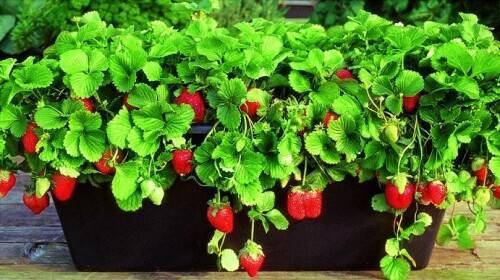 Какой сорт клубники выращивают на подоконнике