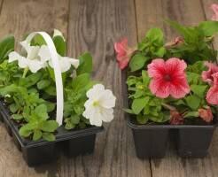 Как сажать петунию семенами