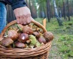 Какие грибы собирают в лесу