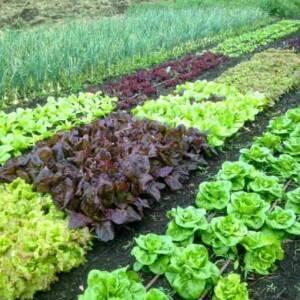 Что можно рядом сажать на огороде