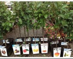 Как выбирать саженцы плодовых деревьев?