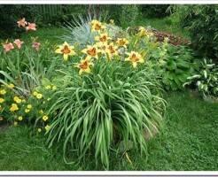 Как посадить лилейник весной