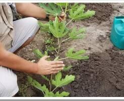 Как посадить саженцы инжира и ухаживать после посадки
