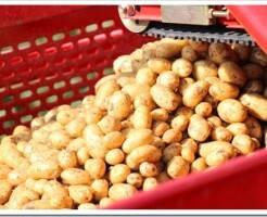 Как хранить семенной картофель до посадки