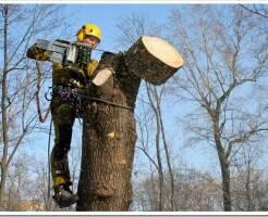 Удаление деревьев альпинистами-арбористами.