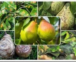Какие болезни бывают у груши