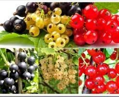 Какие ягодные кустарники быстро дают урожай?