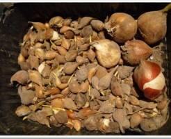 Как хранить луковицы цветов зимой и как их сажать в дальнейшем