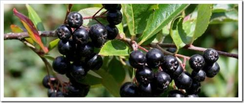 Арония черноплодная (черная рябина)