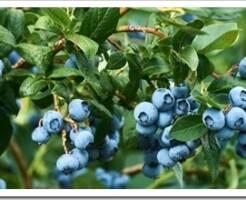 Топ-3 необычных плодовых кустарников для Подмосковья