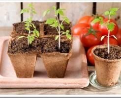 Как правильно вырастить семена помидор
