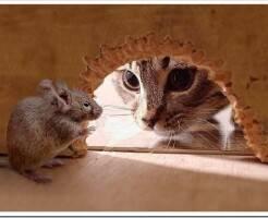 Мыши в частном доме - как избавиться
