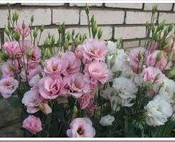 Эустома - что за цветок и как ухаживать