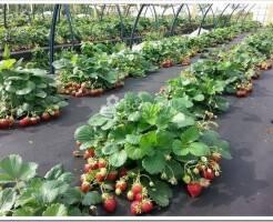 Как посадить рассаду клубники