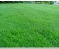 Какие есть виды газонной травы