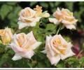 Чайно-гибридные розы – классика ландшафтного дизайна