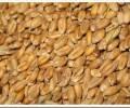 Различия пшеницы твердых и мягких сортов
