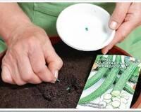 Как правильно сажать семена огурцов на рассаду