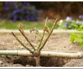 Как правильно посадить саженцы роз осенью