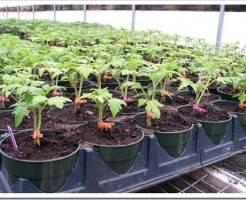 Как правильно выращивать помидоры: удобрение в самом начале роста