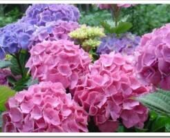 Как ухаживать за садовой гортензией