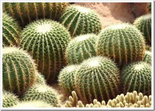 Авторитетный кактус