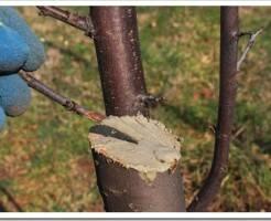 Чем обрабатывать раны у деревьев при обрезке веток в саду