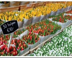 Какие цветы и горшечные растения выращиваются в Голландии на продажу