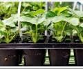 Как выбрать саженцы клубники и как их правильно посадить