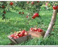 Какие плодовые деревья можно посадить на даче в Подмосковье